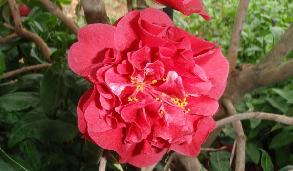 0294-Camellia-japonica-Maroon-and-Gold.jpg
