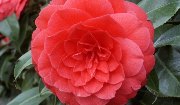 0296-Camellia-japonica-Ed-Combatalade-d.jpg