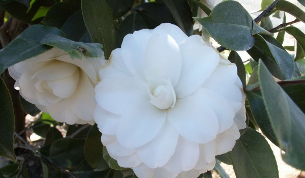 0302-Camellia-japonica-Purity-a.jpg
