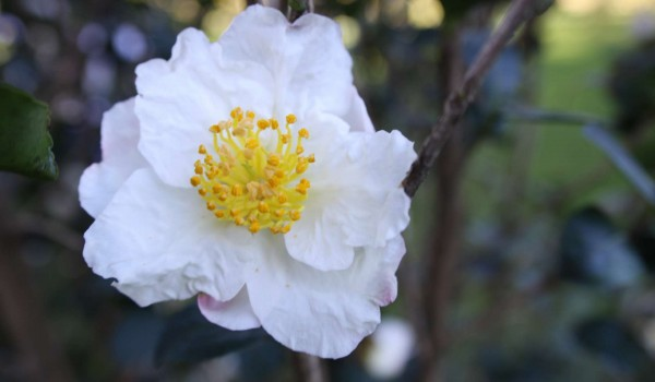 0330-Camellia-sasanqua-Day-Dream-d.jpg