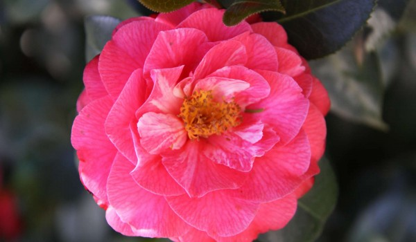 0327-Camellia-x-williamsii-Winter-Gem-g.jpg